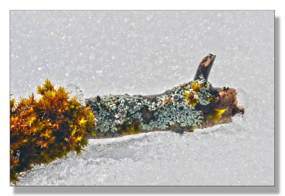lichen3