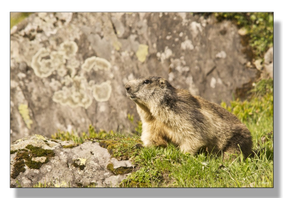 marmotte-1