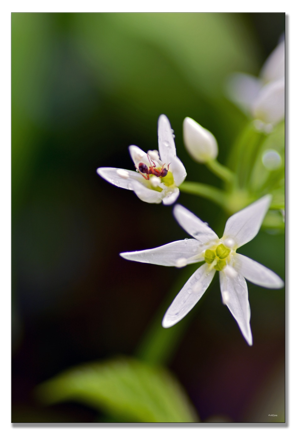 fourmi en coeur de fleur