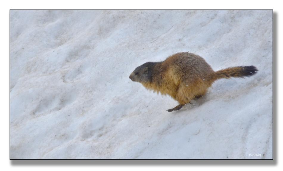 marmotte court
