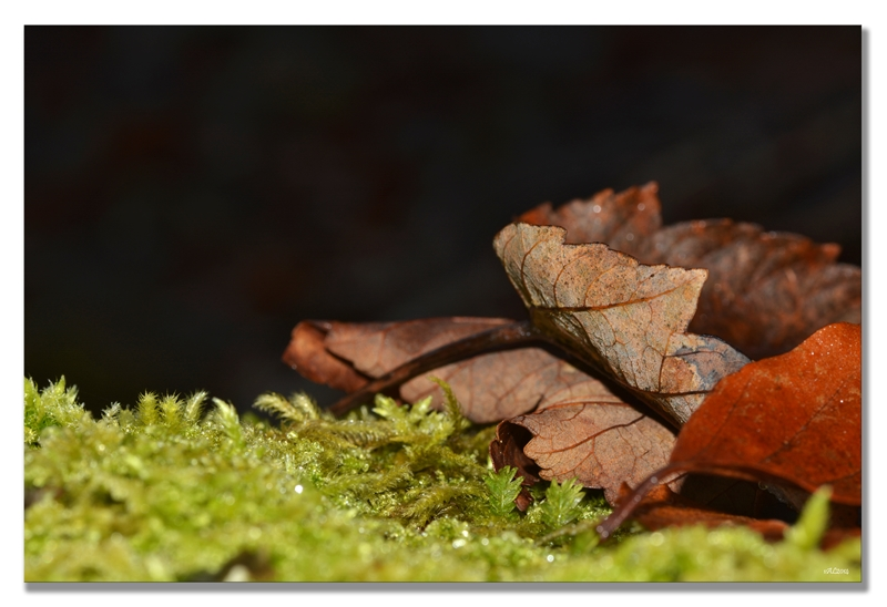 feuilles mousse